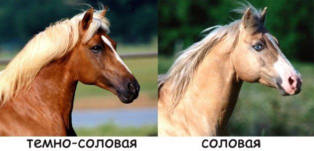 Соловая масть лошадей