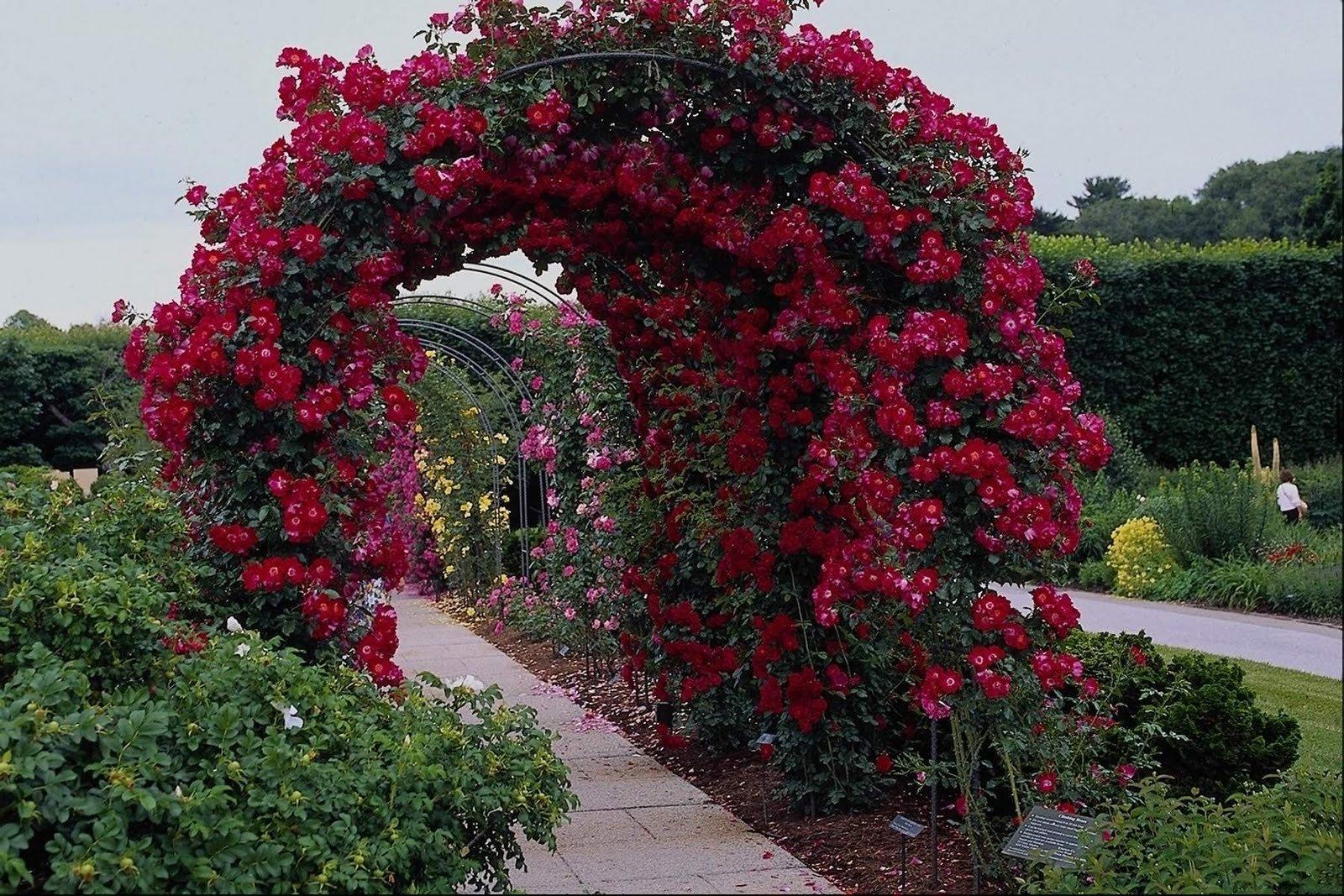 плетистые розы в ландшафте фото свою