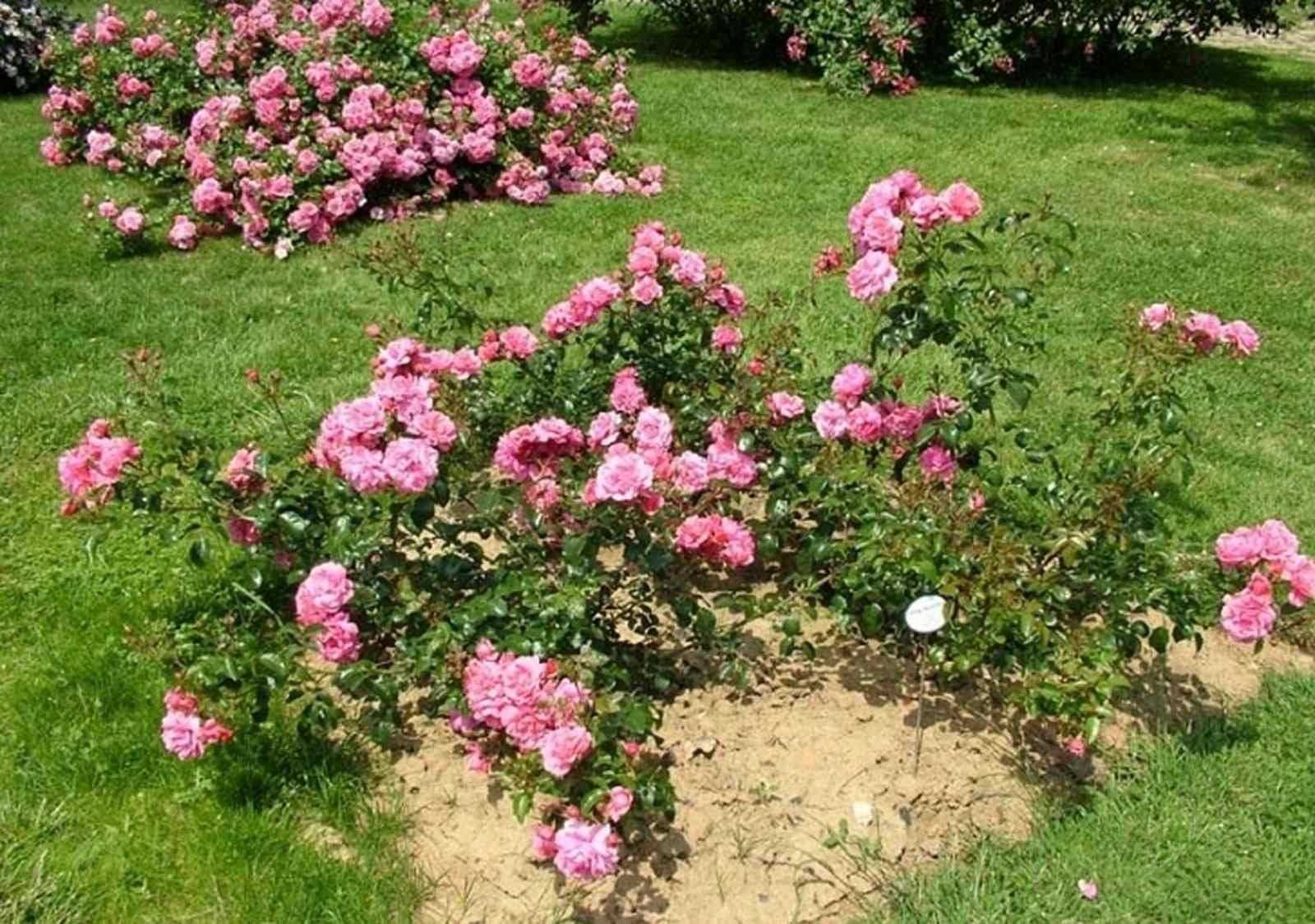 почвопокровные розы в ландшафтном дизайне фото настойчиво