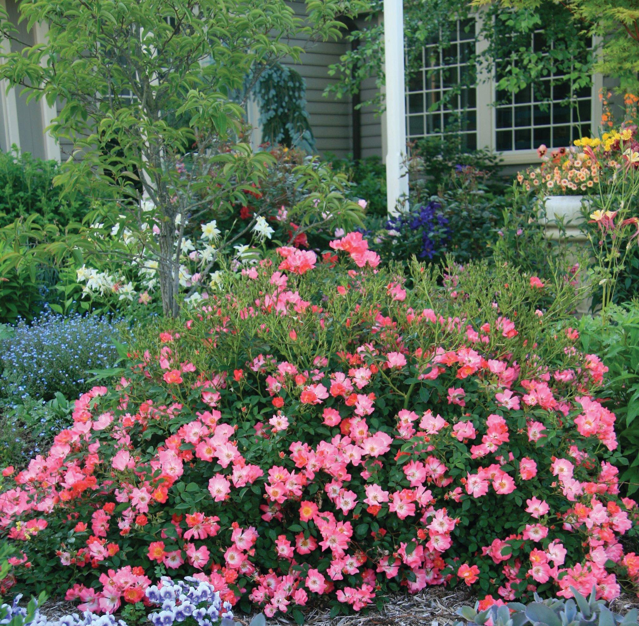 почвопокровные розы в ландшафтном дизайне фото смешные