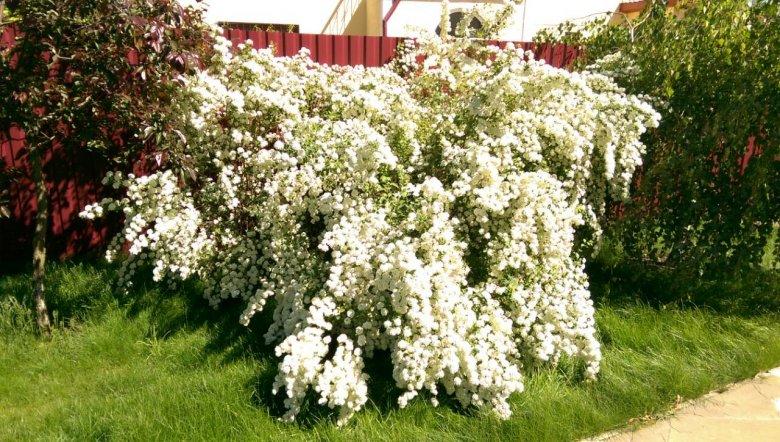 Спирея в садовом дизайне - 836 фото примера