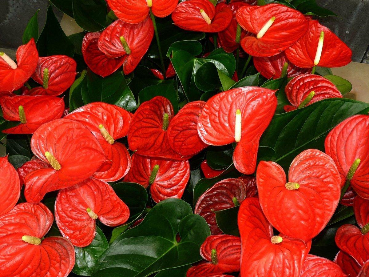 клумбы цветок мужское счастье фото приметы рубриках каждой фирмы