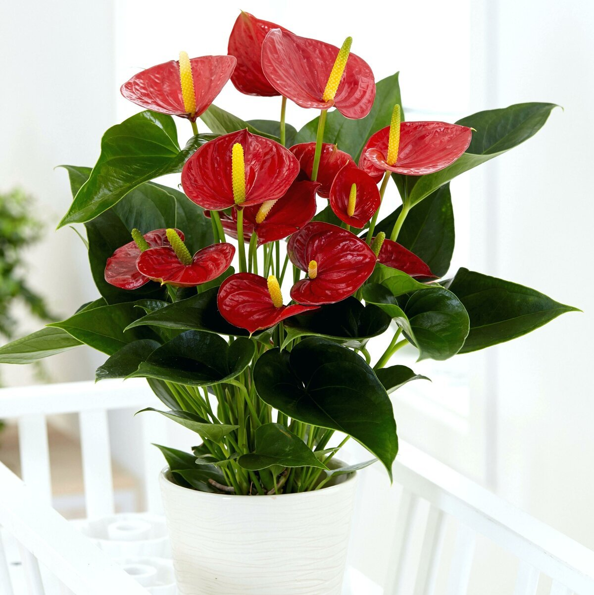 Цветок мужское счастье фото приметы
